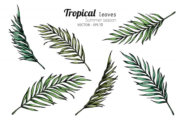 Set of coconut palm leaf drawing illustration with line art on white backgrounds.