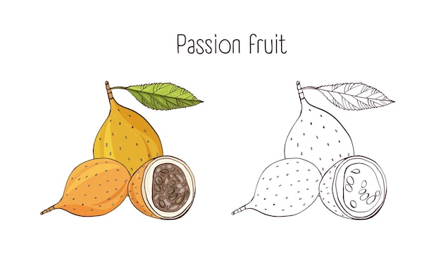 Set of colorful and monochrome botanical drawings of whole and cut passion fruit isolated on white Premium Vector