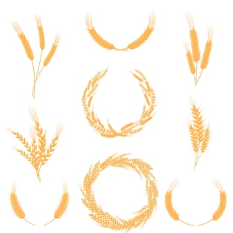 Set of compositions of ripe yellow wheat ears.  illustration on white background.