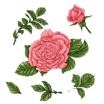 Set coral roses. hand drawing
