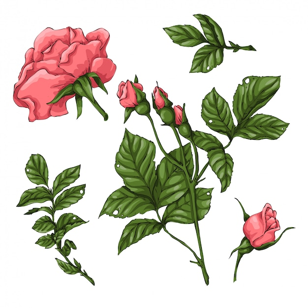 Set of coral roses.