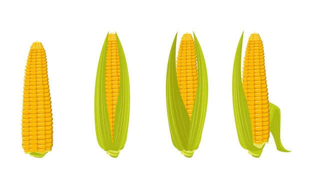 Set of corn cobs with leaves and grains summer and autumn harvest delicious food vitamin source