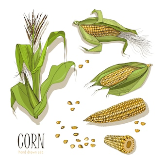 Set of corn plant. colorful hand drawn collection maize. illustration.