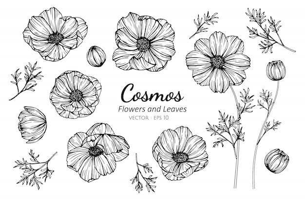 Set of cosmos flower and leaves drawing illustration.