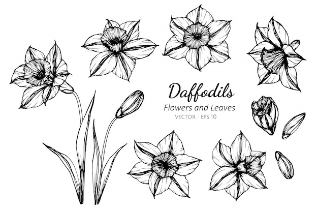 Set of daffodils flower and leaves drawing illustration.