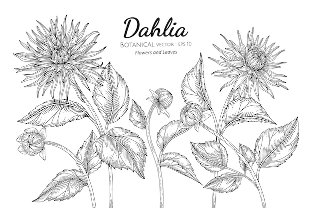 Set of dahlia flower and leaf botanical hand drawn illustration.
