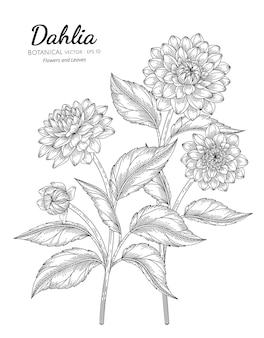 Set of dahlia flower and leaf hand drawn botanical illustration with line art
