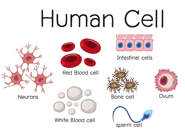 Set of different human cell