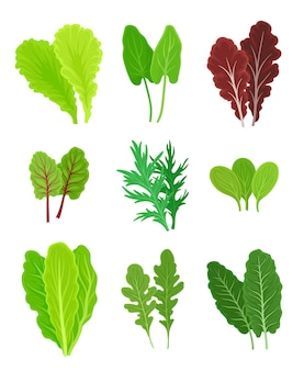 Set of different types of greens for salad