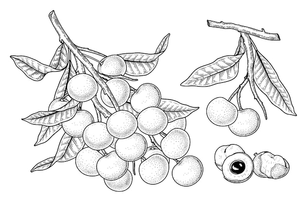 Set of dimocarpus longan fruit hand drawn elements botanical illustration