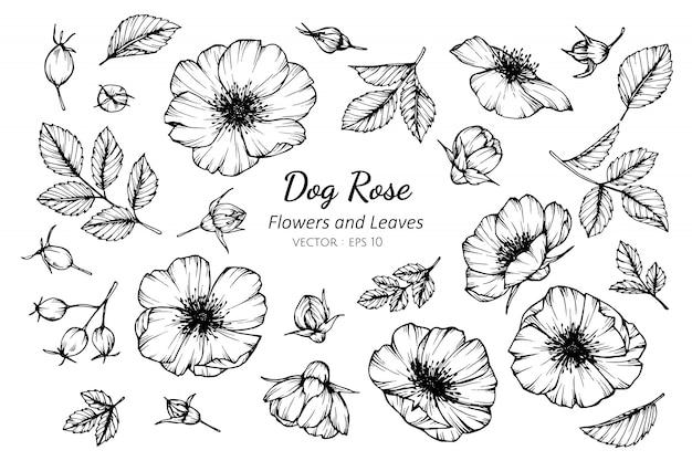 Set of dog rose flower and leaves drawing illustration.