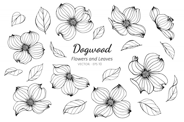 Set of dogwood flower and leaves drawing illustration.