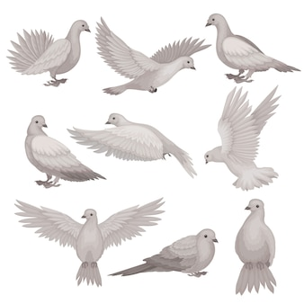 Set of dove in different poses. bird with small head, short legs and gray feathers.