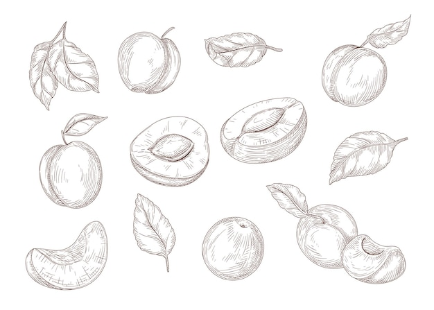 Set of engraving monochrome drawings of apricot