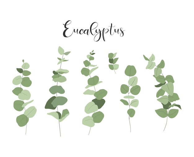 Set of eucalyptus. branches and leaves.
