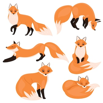 Set of foxes isolated