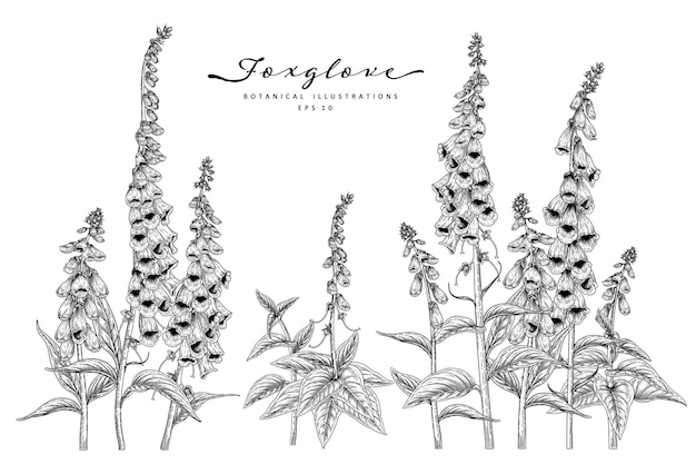 Set of foxglove flower hand drawn botanical illustrations.