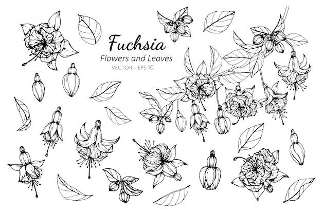 Set of fuchsia flower and leaves drawing illustration.