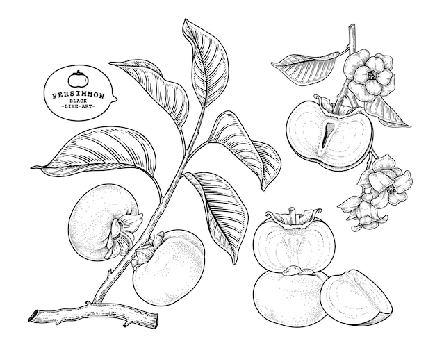 Set of fuyu persimmon fruit hand drawn elements botanical illustration