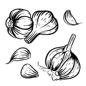 Set of garlic sketches vector hand drawn illustration isolated on white background