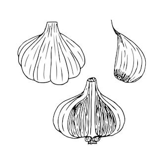 Set of garlic, whole head, half and slicesketch