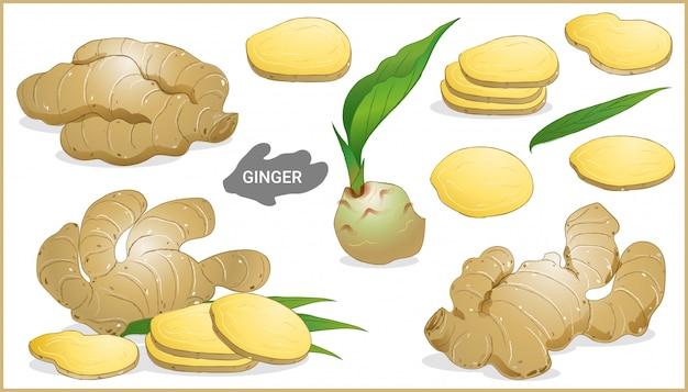 Set of ginger root illustration