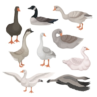 Set of gray and white geese in different actions. wild and farm birds with long necks. fauna theme