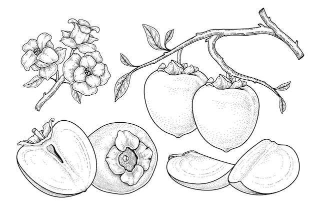 Set of hachiya persimmon fruit hand drawn elements botanical illustration