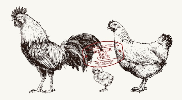 Set of hand drawn chicken roaster, han and chick with vintage style