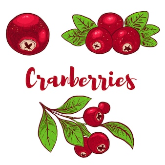 Set of hand drawn colorful cranberries illustrations.  element for poster, card,. menu, sign.  image