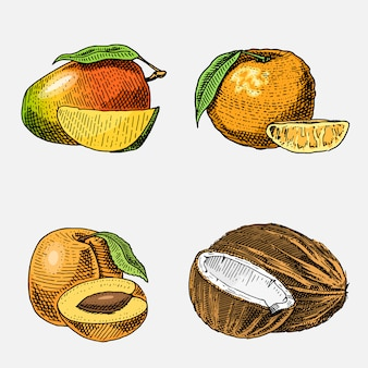 Set of hand drawn, engraved fresh fruits, vegetarian food, plants, vintage looking coconut, mango and tangerine, armenian plum.