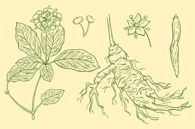 Set of hand drawn ginseng plant