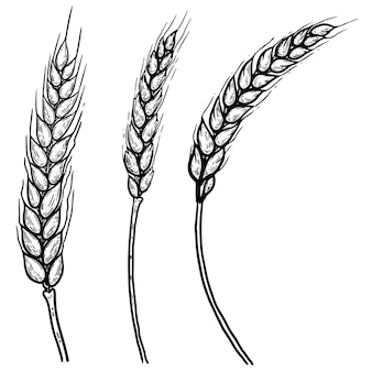 Set of hand drawn illustrations of wheat spikelets. design element for poster, label, card, emblem, .  image