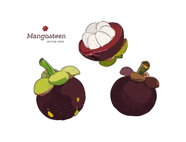 Set of hand drawn mangosteen tropical fruit. fresh organic food.