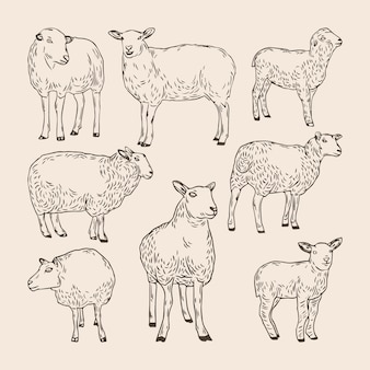 Set of hand drawn sheep collections