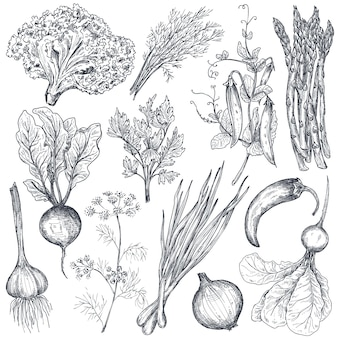 Set of hand drawn vector farm vegetables and herbs in sketch style asparagus onion pea pepper