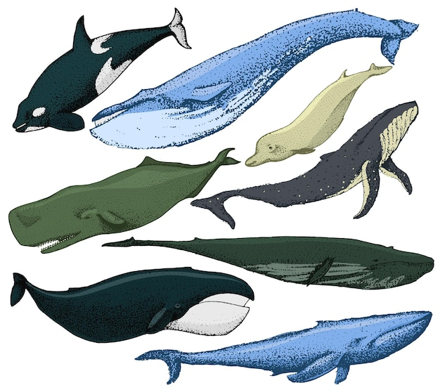 Set of hand drawn whales include various types