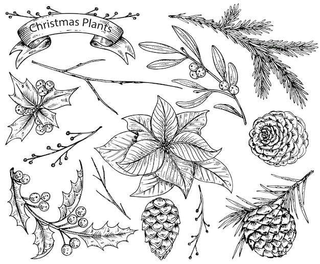 Set of  hand drawn winter plants - poinsettia, mistletoe, fir-cone; holly.   sketch  illustration.