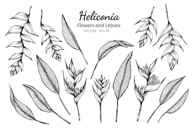 Set of heliconia flower and leaves drawing illustration.