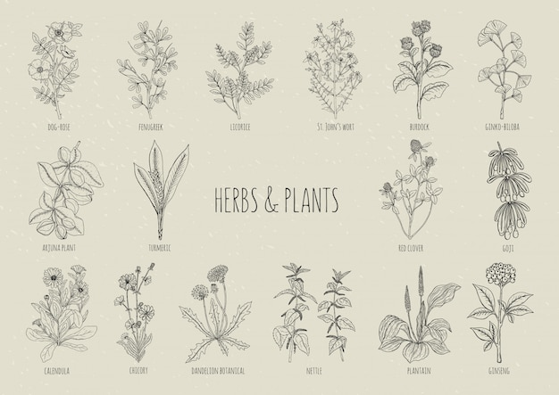 Set of herbs. collection hand drawn medical, botanical and healing isolated plants. contour