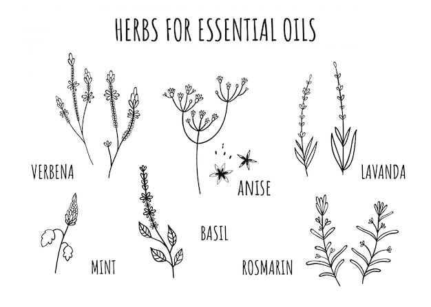 Set of herbs for essential oils. hand-drawn style