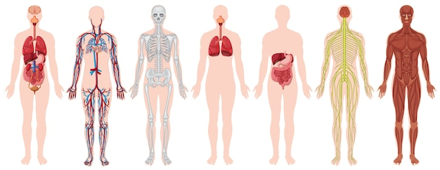 Set of human body and anatomy