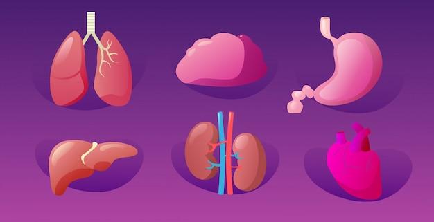 人間の臓器を設定する解剖学的胃肝臓腎臓腎臓肺心臓脳アイコンコレクション解剖学医療医療概念水平
