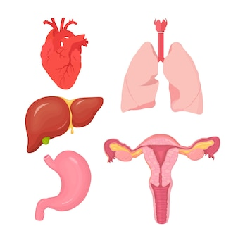 Set of human internal organs. heart, liver, stomach, lungs, female reproductive system