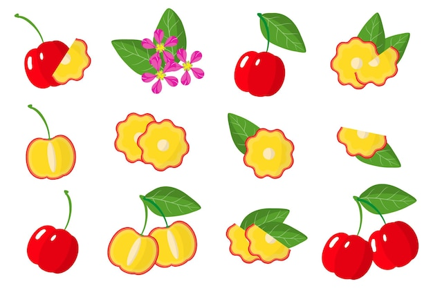 Set of illustrations with acerola exotic fruits, flowers and leaves isolated on a white background.