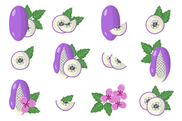 Set of illustrations with akebia exotic fruits, flowers and leaves isolated on a white background.