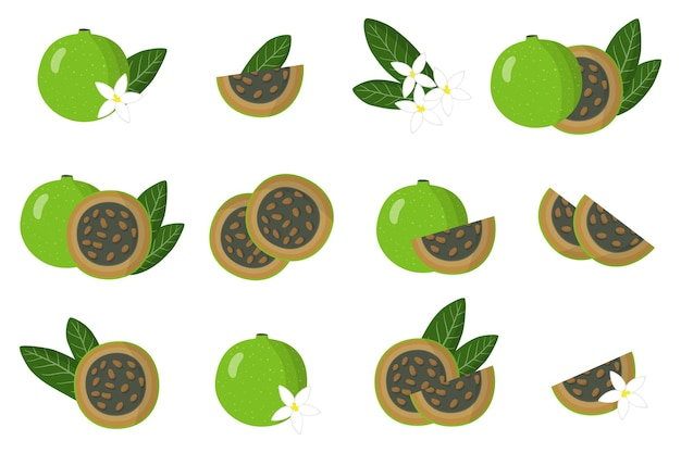 Set of illustrations with alibertia exotic fruits, flowers and leaves isolated on a white background.