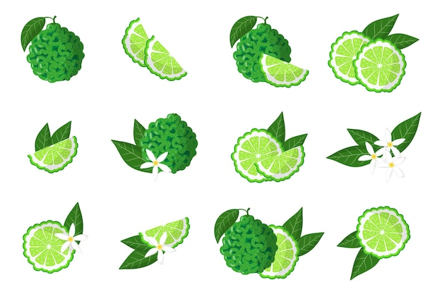 Set of illustrations with bergamot exotic citrus fruits, flowers and leaves isolated on a white background.