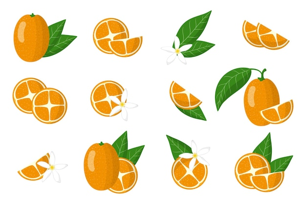 Set of illustrations with kumquat exotic citrus fruits, flowers and leaves isolated on a white background.