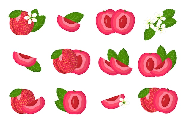 Set of illustrations with pluot exotic fruits, flowers and leaves isolated